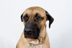 Cão que olha em linha reta Fotos de Stock