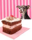 Cão que olha fixamente no bolo de chocolate da cereja Fotografia de Stock Royalty Free