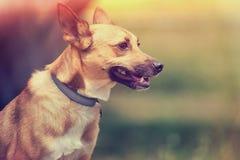 Cão que olha lateralmente fotografia de stock