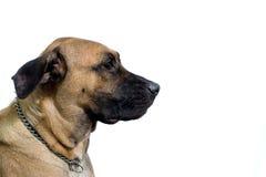 Cão que olha no direito Imagem de Stock Royalty Free