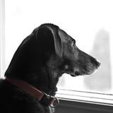Cão que olha para fora o indicador Foto de Stock Royalty Free
