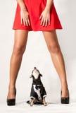 Cão que olha Upskirt Fotos de Stock Royalty Free