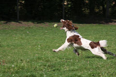 Cão que persegue a esfera Foto de Stock Royalty Free