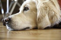 Cão que relaxa Imagem de Stock Royalty Free