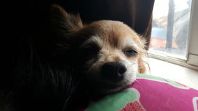 Cão que relaxa Imagens de Stock Royalty Free