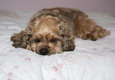 Cão que relaxa na cama imagem de stock