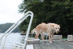Cão que sai do lago Fotografia de Stock