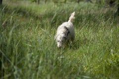 Cão que segue um traço Foto de Stock