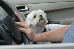 Cão que senta-se em um carro Fotos de Stock