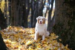 Cão que senta-se em um parque do outono por uma árvore foto de stock