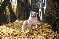 Cão que senta-se em um parque do outono por uma árvore fotografia de stock