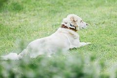 Cão que senta-se na grama Foto de Stock Royalty Free