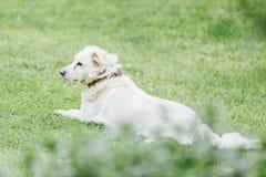 Cão que senta-se na grama Imagens de Stock Royalty Free