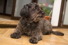 Cão que senta-se no assoalho Fotografia de Stock Royalty Free