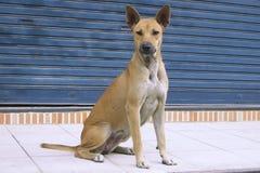 Cão que senta-se no elógio elegante do passeio Fotografia de Stock