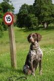 Cão que senta-se no sinal dianteiro da velocidade Imagem de Stock Royalty Free