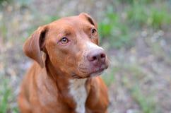 Cão que senta-se pacientemente Imagens de Stock Royalty Free