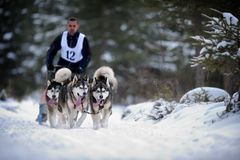Cão que sledding com cão de puxar trenós Fotografia de Stock