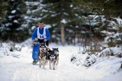 Cão que sledding com cão de puxar trenós Imagens de Stock