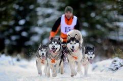 Cão que sledding com cão de puxar trenós Fotos de Stock Royalty Free