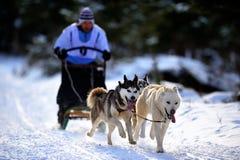 Cão que sledding com cão de puxar trenós Foto de Stock Royalty Free