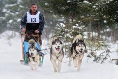 Cão que sledding com cão de puxar trenós Imagem de Stock