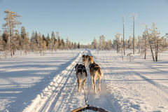 Cão que sledding em lapland Foto de Stock
