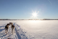 Cão que sledding em lapland Foto de Stock Royalty Free