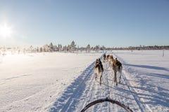 Cão que sledding em lapland Imagens de Stock Royalty Free