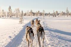 Cão que sledding em lapland fotografia de stock royalty free