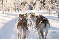 Cão que sledding em lapland Fotografia de Stock
