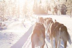 Cão que sledding em lapland Imagem de Stock Royalty Free