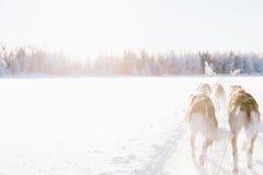 Cão que sledding em lapland Fotos de Stock