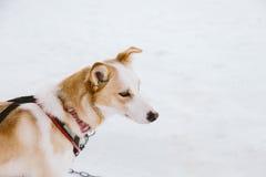 Cão que sledding em lapland Fotos de Stock Royalty Free