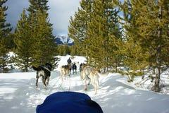 Cão que sledding em Montana imagem de stock