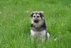 Cão que tem a grama do resto na primavera Imagens de Stock Royalty Free