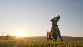Cão que trava a esfera Cão que persegue a esfera video estoque