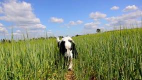 Cão que vagueia através do campo verde vídeos de arquivo