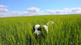 Cão que vagueia através do campo verde video estoque