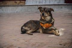 Cão que veste a colar amarela da flor e Dot Tika vermelho durante o festival de Kukur Tihar em Nepal foto de stock