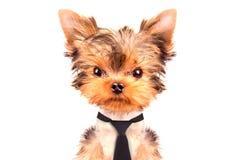 Cão que veste um laço Imagens de Stock
