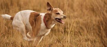 Cão rápido Imagem de Stock Royalty Free