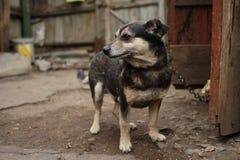 Cão rústico da jarda em uma trela Fotografia de Stock