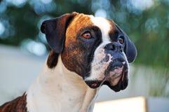 Cão rajado e branco do retrato do close-up do puro-sangue do pugilista Imagens de Stock