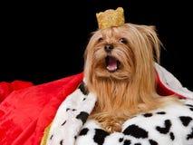 Cão real de fala com coroa e vestido fotografia de stock