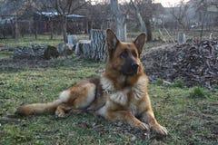 Cão reclinado imagens de stock