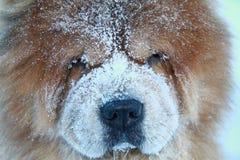 Cão redheaded bonito em uma neve Fotos de Stock
