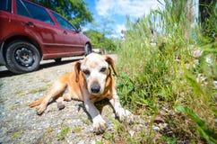 Cão relaxado Imagem de Stock Royalty Free