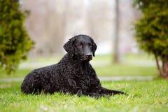 cão revestido encaracolado do perdigueiro que encontra-se para baixo fotos de stock