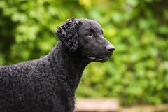 Cão revestido encaracolado preto do perdigueiro foto de stock